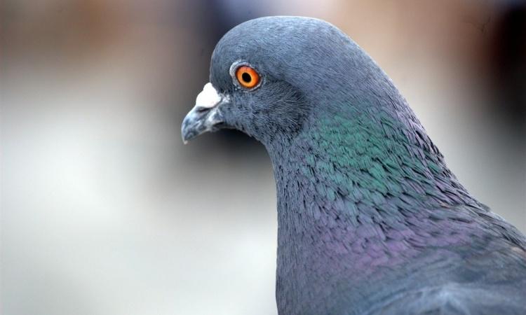 Poštové holuby na školách