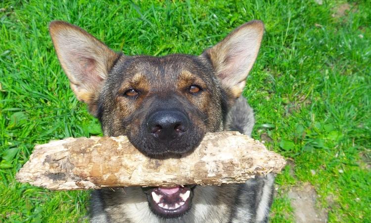 Rebríček inteligencie psov
